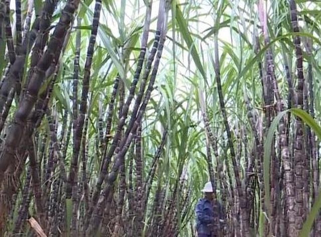 Chuyện thoát nghèo nhờ cây mía ở huyện miền núi Thạch Thành - 2