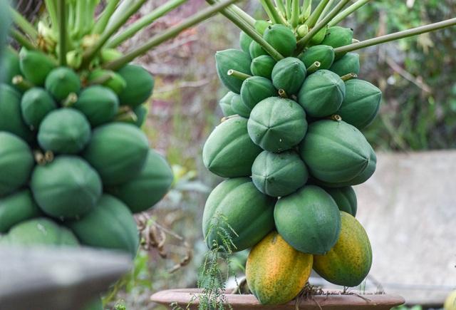 Săn đu đủ bonsai dáng siêu độc, quả đẻ chi chít chơi Tết - 7