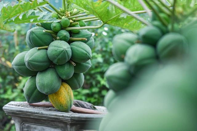Săn đu đủ bonsai dáng siêu độc, quả đẻ chi chít chơi Tết - 1