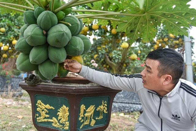Săn đu đủ bonsai dáng siêu độc, quả đẻ chi chít chơi Tết - 4
