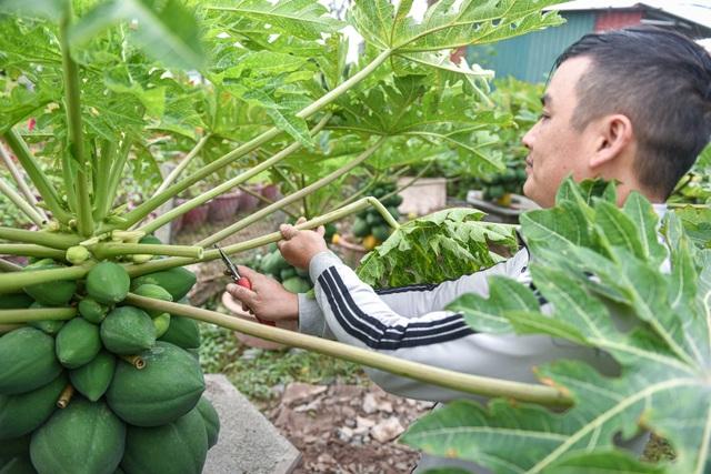 Săn đu đủ bonsai dáng siêu độc, quả đẻ chi chít chơi Tết - 5