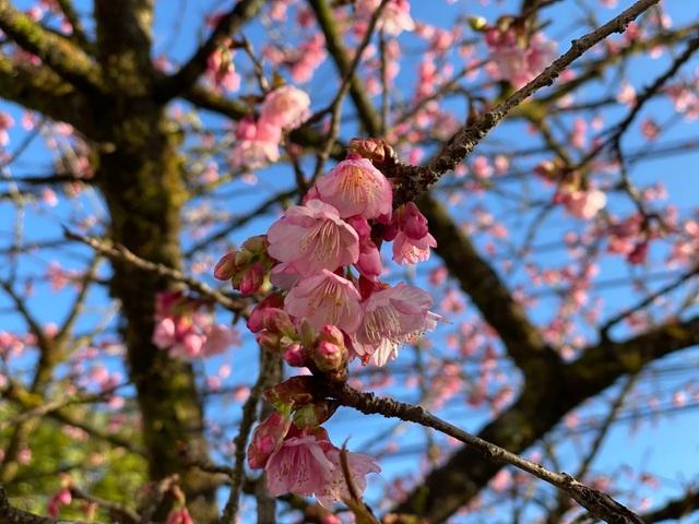 Chiêm ngưỡng sắc hoa anh đào Nhật Bản bung nở tuyệt đẹp tại Sa Pa - 1
