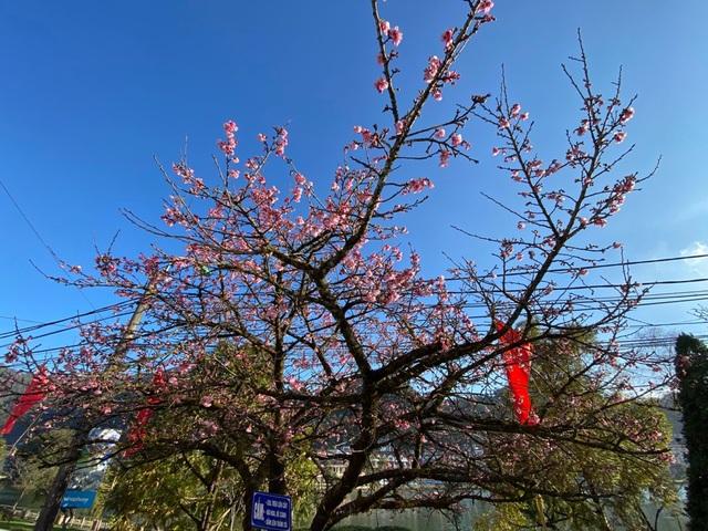 Chiêm ngưỡng sắc hoa anh đào Nhật Bản bung nở tuyệt đẹp tại Sa Pa - 2