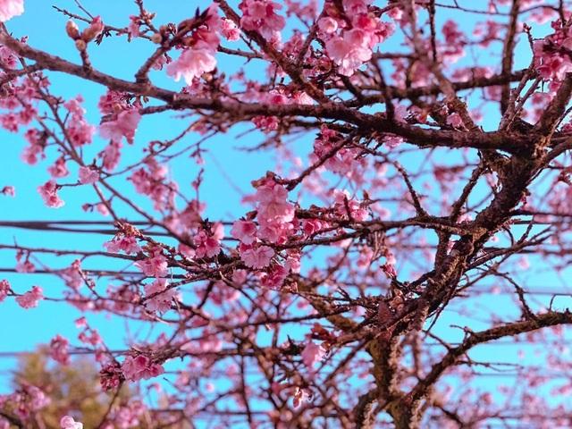 Chiêm ngưỡng sắc hoa anh đào Nhật Bản bung nở tuyệt đẹp tại Sa Pa - 6