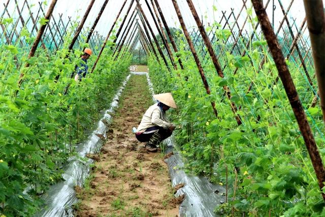 Sau lũ lớn, nông dân hối hả khôi phục rau màu cung ứng Tết - 1