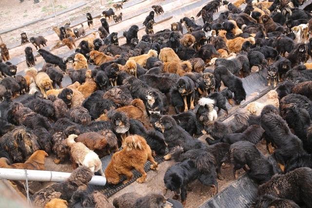 Bi kịch của chó ngao triệu USD: Hết thời bị bỏ rơi thành... chó hoang - 3