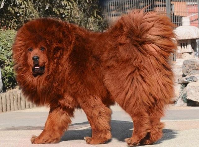 Bi kịch của chó ngao triệu USD: Hết thời bị bỏ rơi thành... chó hoang - 4