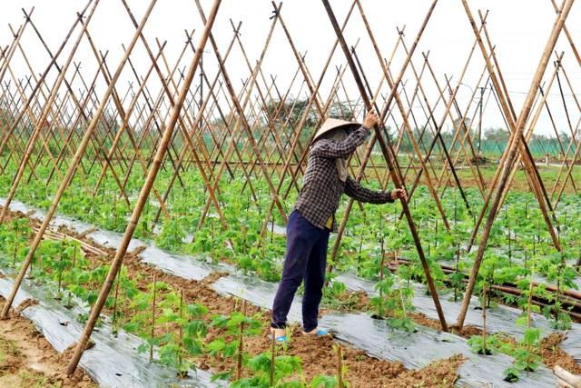 Sau lũ lớn, nông dân hối hả khôi phục rau màu cung ứng Tết - 2
