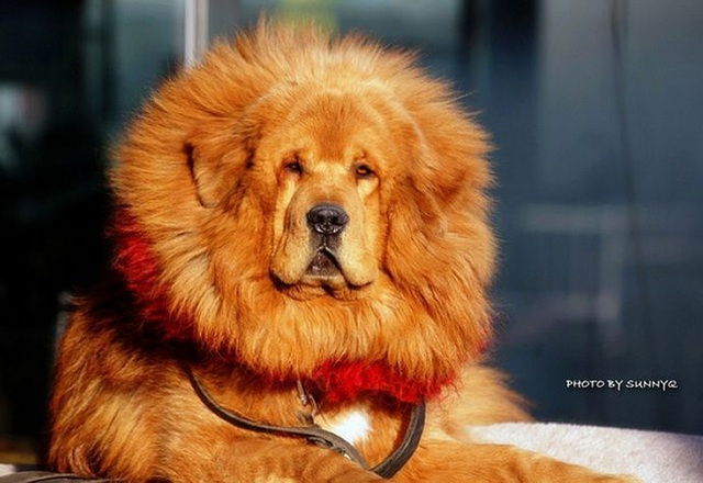 Bi kịch của chó ngao triệu USD: Hết thời bị bỏ rơi thành... chó hoang - 1