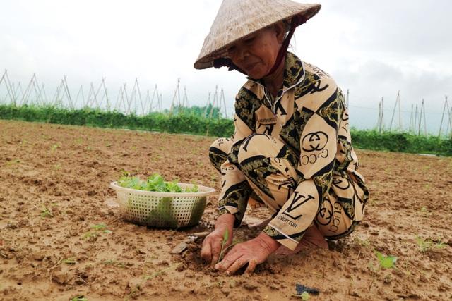Sau lũ lớn, nông dân hối hả khôi phục rau màu cung ứng Tết - 4