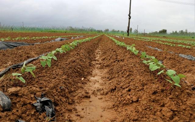 Sau lũ lớn, nông dân hối hả khôi phục rau màu cung ứng Tết - 5
