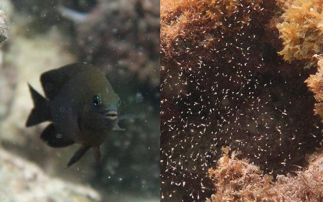 Phát hiện loài cá biết thuần hóa sinh vật khác như vật nuôi - 1