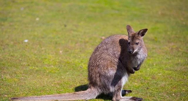 Chuột túi có thể giao tiếp với con người như động vật thuần hóa - 1