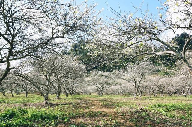 Đẹp quên lối mùa hoa mận nở trắng trời cao nguyên Mộc Châu - 1
