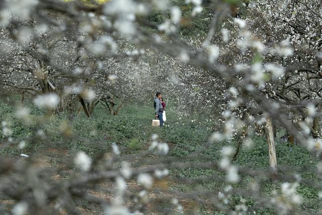 Đẹp quên lối mùa hoa mận nở trắng trời cao nguyên Mộc Châu - 7