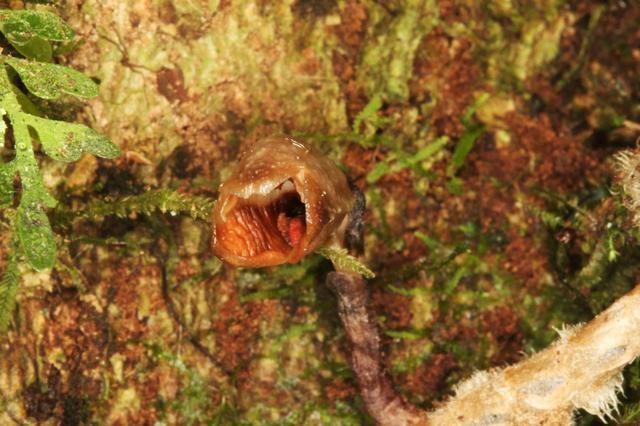 Tìm thấy loài phong lan xấu nhất thế giới - 1