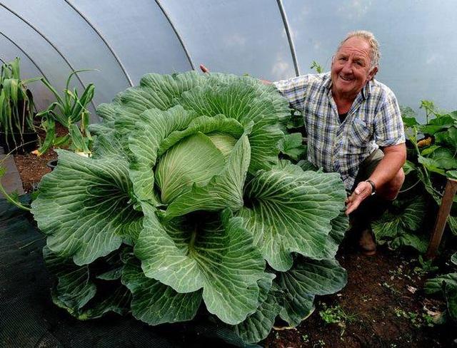 Choáng ngợp khu vườn siêu khổng lồ, rau bắp cải cũng nặng đến... 45kg - 6