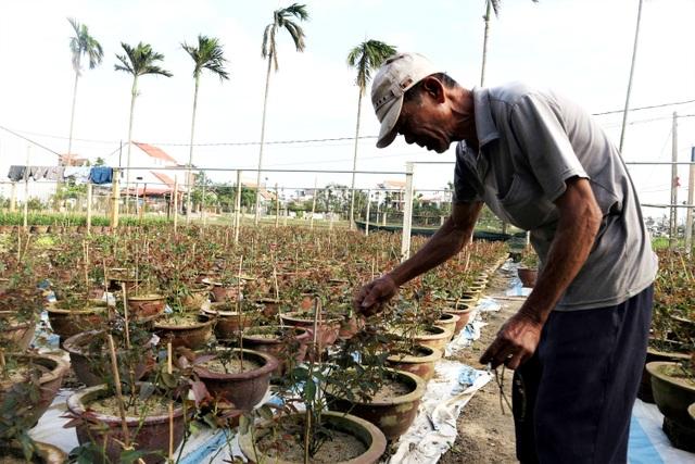 Người trồng cây cảnh ở Hội An phập phồng lo vụ Tết - 3