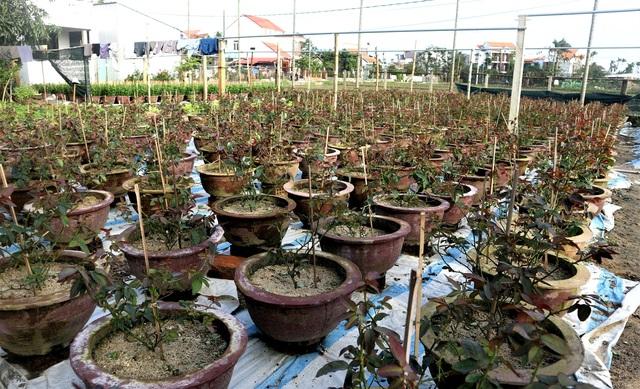 Người trồng cây cảnh ở Hội An phập phồng lo vụ Tết - 4
