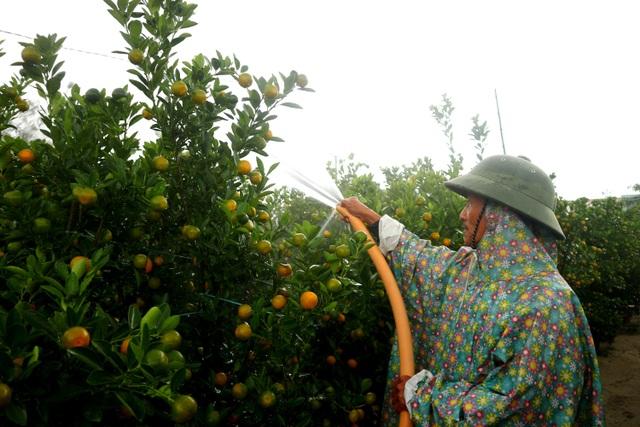 Người trồng cây cảnh ở Hội An phập phồng lo vụ Tết - 6
