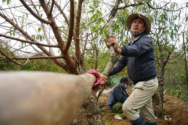 Đào Nhật Tân xuống phố sớm, người Hà Nội thích thú mua đào đón... Noel - 1
