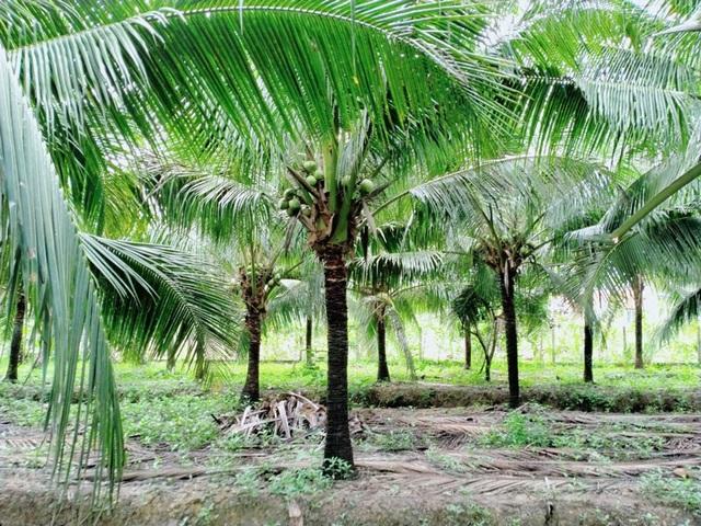 Siêu thị nước ngoài đặt mua 10 triệu trái dừa/năm, tìm mỏi mắt vẫn không đủ - 1