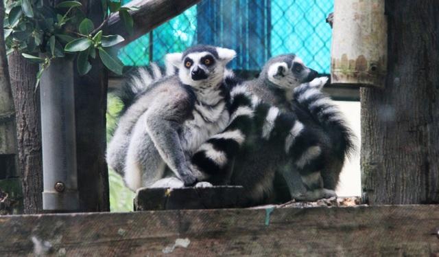 Những con vật co ro nép mình trong vườn bách thú Thủ Lệ vì lạnh - 11