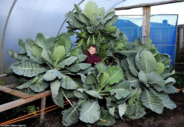 Choáng ngợp khu vườn siêu khổng lồ, rau bắp cải cũng nặng đến... 45kg - 5