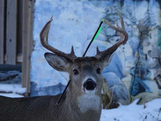 Kế hoạch giải cứu chú nai bị mũi tên bắn xuyên qua đầu trước lễ Giáng sinh - 1