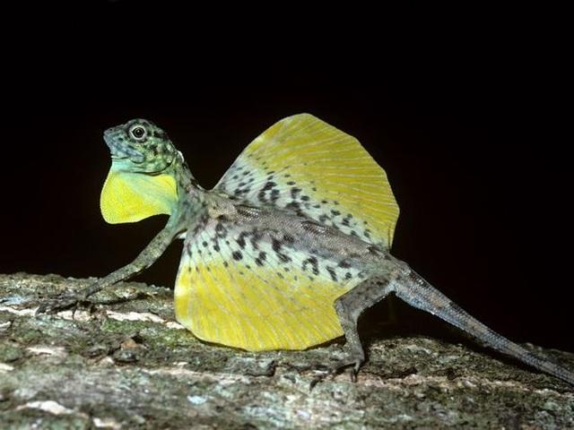 Kỳ lạ loài thằn lằn có khả năng bay như rồng - 5