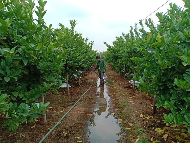 Người làm nghề trồng phật thủ tất bật vào vụ Tết - 1