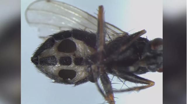 Phát hiện loại nấm mới biến ruồi thành xác sống - 1