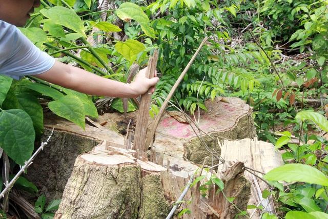 Sau loạt bài điều tra của Dân trí, khởi tố 12 bị can tàn sát rừng già - 2