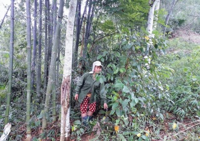 Hỗ trợ hơn 20.000 tấn gạo cho người dân biên giới bảo vệ, phát triển rừng - 1
