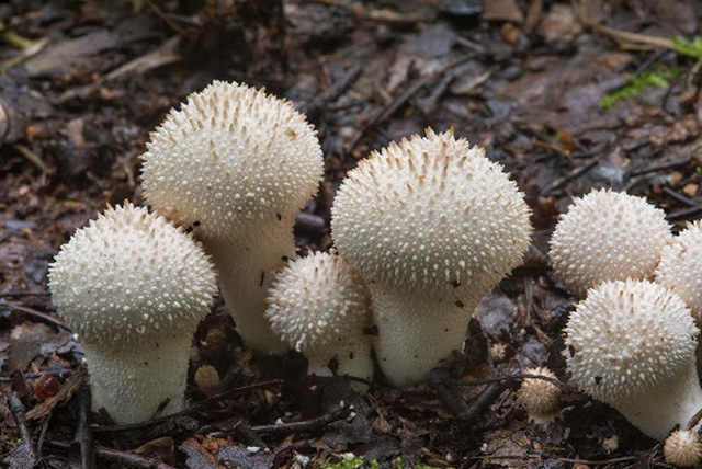 Nhìn xa tưởng nấm độc ai ngờ là đặc sản ngon hiếm có, giá tiền triệu - 4