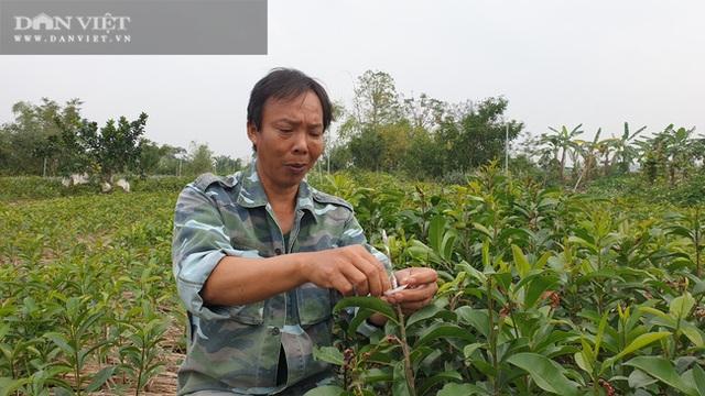 Nhờ cây giống này, lão nông Thái Bình lãi gần 1 tỷ đồng/năm, thoát cảnh sạt nghiệp - 1