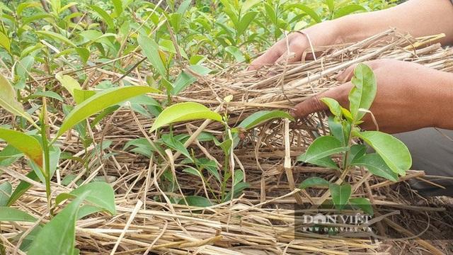 Nhờ cây giống này, lão nông Thái Bình lãi gần 1 tỷ đồng/năm, thoát cảnh sạt nghiệp - 5