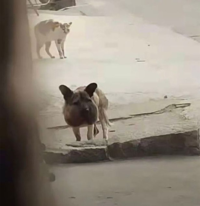 Giải cứu chú chó đáng thương mặt sưng phồng biến dạng vì đai cổ thắt chặt - 2