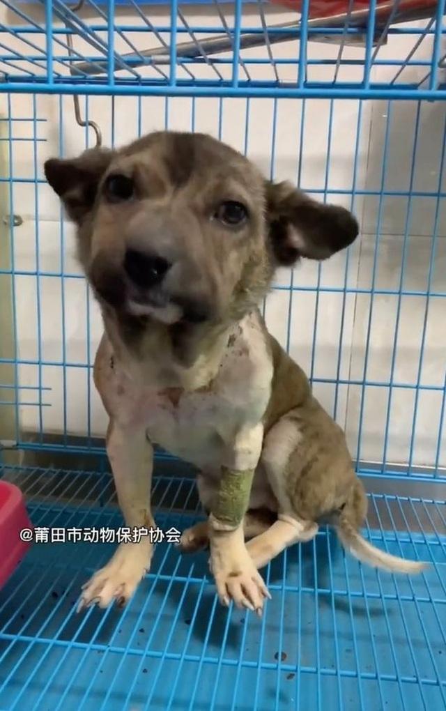 Giải cứu chú chó đáng thương mặt sưng phồng biến dạng vì đai cổ thắt chặt - 3