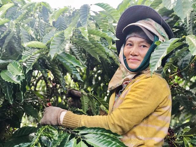 Gia Lai: Phu cà phê hái Tết đầu năm - 4