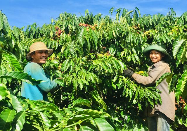 Gia Lai: Phu cà phê hái Tết đầu năm - 3