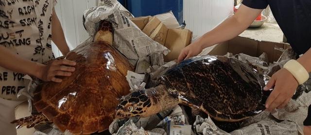 Phát hiện 39 cá thể nghi vấn là rùa biển sấy khô - 2
