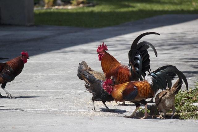 Lạ lùng hòn đảo bị hàng nghìn con gà hoang xâm chiếm - 1