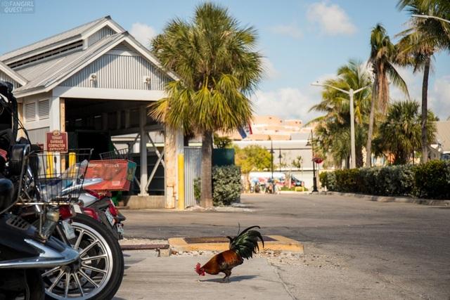 Lạ lùng hòn đảo bị hàng nghìn con gà hoang xâm chiếm - 4