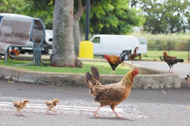 Lạ lùng hòn đảo bị hàng nghìn con gà hoang xâm chiếm - 5