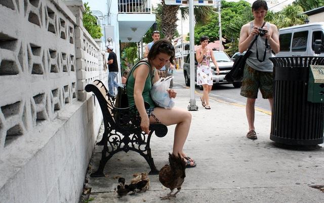 Lạ lùng hòn đảo bị hàng nghìn con gà hoang xâm chiếm - 6