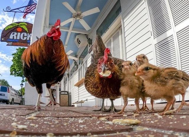 Lạ lùng hòn đảo bị hàng nghìn con gà hoang xâm chiếm - 7