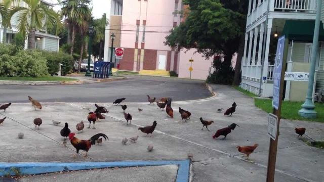 Lạ lùng hòn đảo bị hàng nghìn con gà hoang xâm chiếm - 8