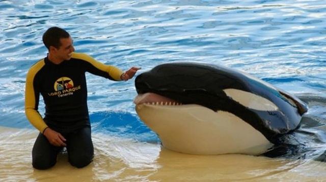 Bí ẩn cá voi sát thủ bất ngờ nổi điên, tấn công người huấn luyện đến chết - 2
