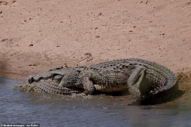 Cá sấu nặng nửa tấn mất vài giây để ăn thịt đồng loại - 3